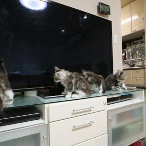 ソフィママのメインクーンの子猫たち生後2ヶ月!