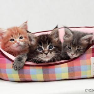 3色のメインクーンの子猫たち山下カメラマンに撮影して頂きました!