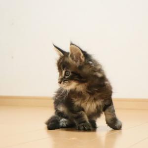 ペーパーの芯で遊ぶブラウンの子猫ロレンス君!