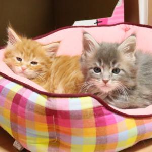 土曜の朝ブルーのメインクーン子猫ティボルト君!
