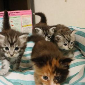 メインクーンの子猫たち生後1ヶ月を越えました