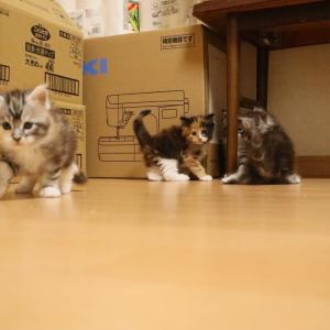 メインクーンの子猫達なんて可愛いんでしょ