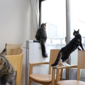 我が家のメインクーンたち窓の外のカラスが気になります!