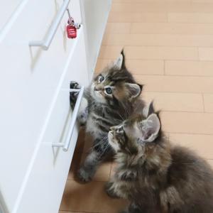 赤べこ君と遊ぶブラウンのメインクーンの子猫