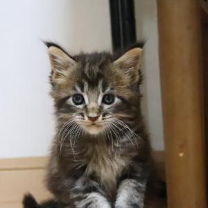 ブラウンのメインクーン子猫ソロ君年上子猫と再会