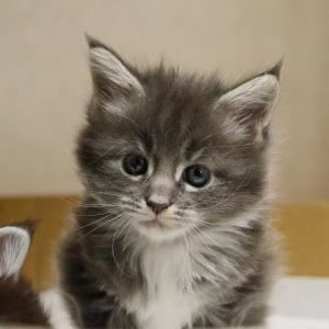 ブルーアンドホワイトのメインクーンの子猫ラーラちゃん