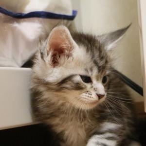 生後36日シルバーのメインクーンの子猫ジバゴ君