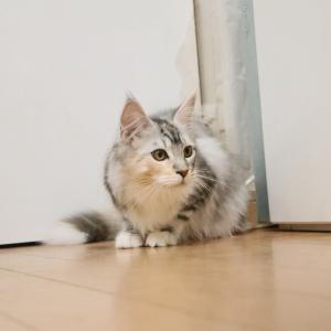 今日も元気シルバーのメインクーン子猫