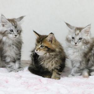 3匹のメインクーンの子猫、無事生後2ヶ月になりました!