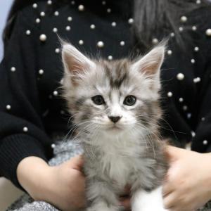 メインクーンの子猫のロイ君のオーナーさんが来てくれました