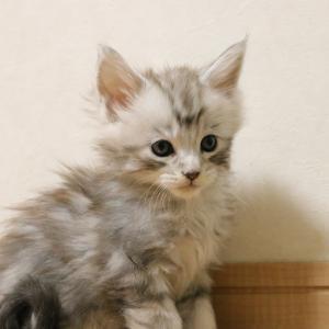 生後39日シルバーのメインクーン子猫の伊之助君