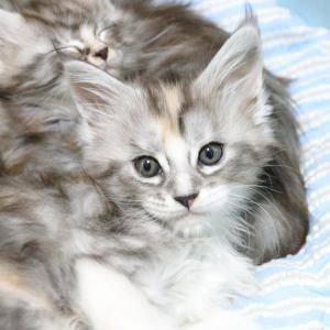 余りに無邪気で可愛いメインクーンの子猫ジェラトーニ