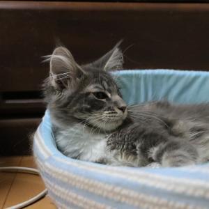 メインクーンの子猫のラーラちゃん生後4ヶ月