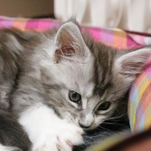 猫じゃらしで遊ぶメインクーン子猫のロイ君