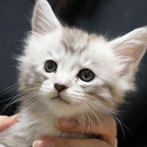 メインクーンシルバーの子猫のニト君