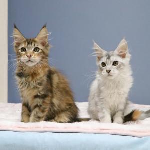 メインクーンの子猫、メロディーちゃんとリズムちゃんが生後100日になりました!