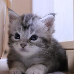 シルバーのメインクーン子猫アンソニー君