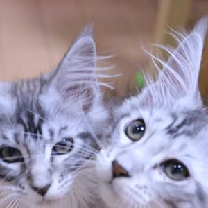 月曜朝シルバーのメインクーン子猫姉妹たち