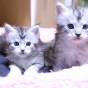 生後1ヶ月シルバーのメインクーン子猫の兄弟