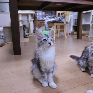 シルバーのメインクーン子猫たちをシャンプーしました
