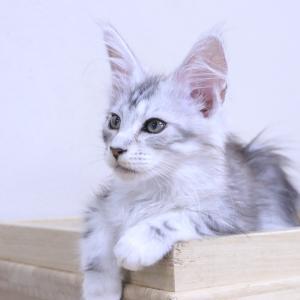 シルバーのメインクーン子猫の蘭ちゃん