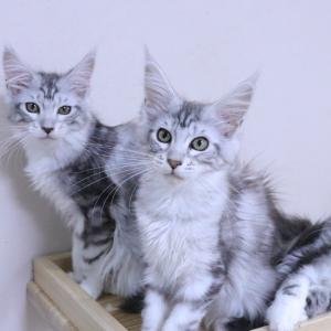 生後4ヶ月シルバーのメインクーン子猫たち