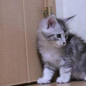 プラボトルで遊ぶシルバーのメインクーン子猫レブロン君