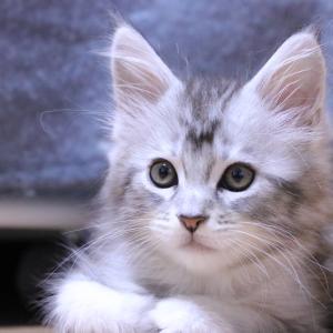シルバーのメインクーン子猫アンソニー君 .