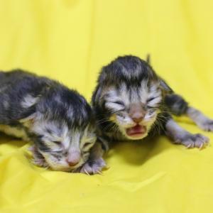 ブラウンのメインクーン子猫たち生まれました