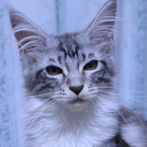 美人だけど性格がキツいメインクーン子猫の千鳥ちゃん