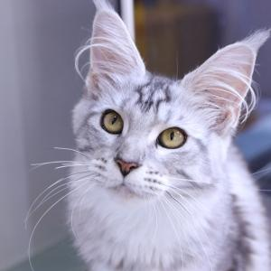 生後7ヶ月シルバーのメインクーン子猫アオイちゃん