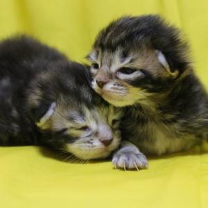 ブラウンのメインクーン子猫たち生後1週間