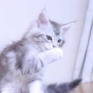 3日後巣立ちシルバーのメインクーン子猫リト君