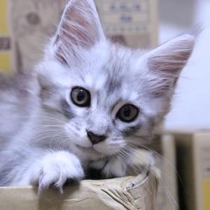 生後64日シルバーのメインクーン子猫レブロン君