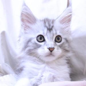 シルバーのメインクーン子猫リト君お渡し