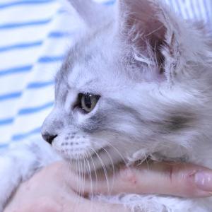 メインクーン子猫シルバーのシズちゃんお渡し