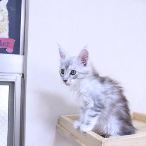 伸び伸びと育つシルバーのメインクーン子猫レブロン君
