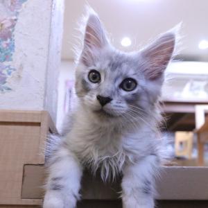 シルバーのメインクーン子猫レブロン君怖い千鳥ちゃんと仲良しに