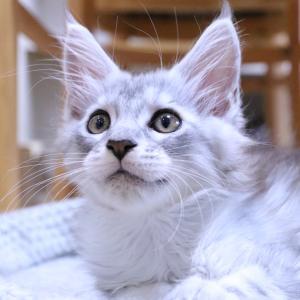 明日お渡しシルバーのメインクーン子猫レブロン君