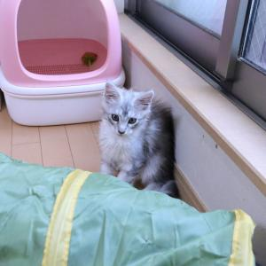 今日巣立ちするシルバーのメインクーン子猫レブロン君