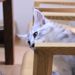 シルバーのメインクーン子猫グレゴリウス君が巣立ち