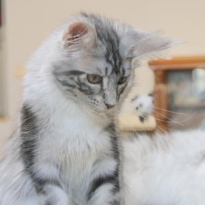 シルバータビーが美しいメインクーン子猫の千鳥ちゃん
