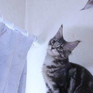 ブルー&ホワイトのメインクーン子猫アンソニー