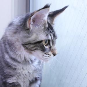 ブラウンの格好良いメインクーン子猫レブロン君