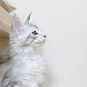 ジェニーちゃん素敵なシルバーのメインクーンの子猫!