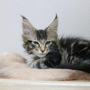 メインクーンの子猫のバーナム君、穏やかな時間が流れています!
