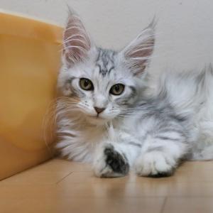シルバーのメインクーンの子猫、ジェニーちゃんが楽しく遊んでいます!