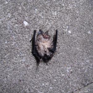 家の前にコウモリの死骸が。。