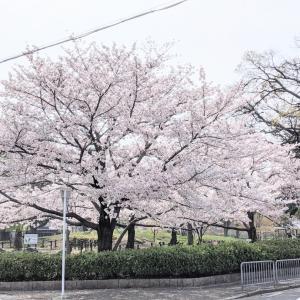 二条城公園 桜満開です