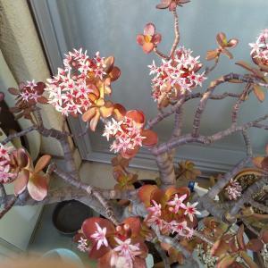 金の成る木の花満開🌸🌸🌸